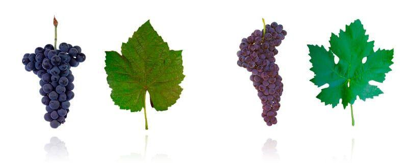 Tipos de Uva: entenda as diferenças no vinho