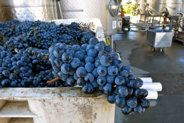 Tudo sobre a Uva e o Vinho Barbera