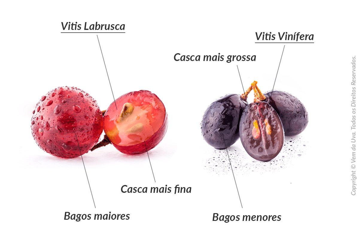 Vinho de Mesa e a Diferença entre as Uvas