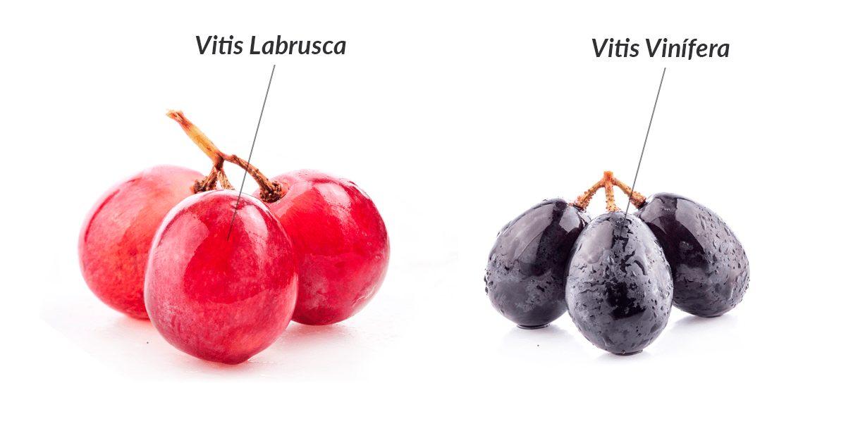 Como Diferenciar o Vinho Fino do Vinho de Mesa