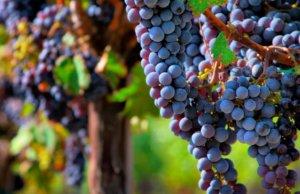 Pinot Noir é uva difícil para produtor