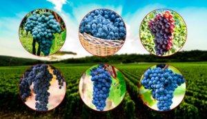 Principais uvas de Vinho Tinto e uvas de vinho tinto