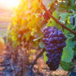 O vinho Merlot: conheça tudo sobre esta uva