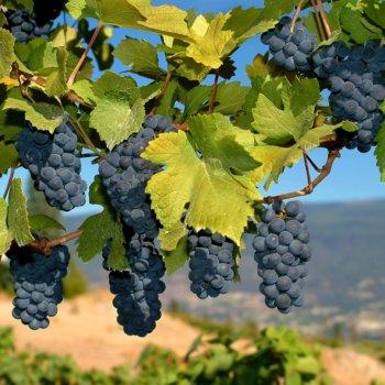12 Curiosidades sobre o vinho Merlot que você não sabia e curiosidades do vinho merlot