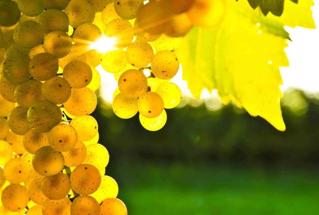 Vinho Chardonnay: tudo sobre a rainha das brancas