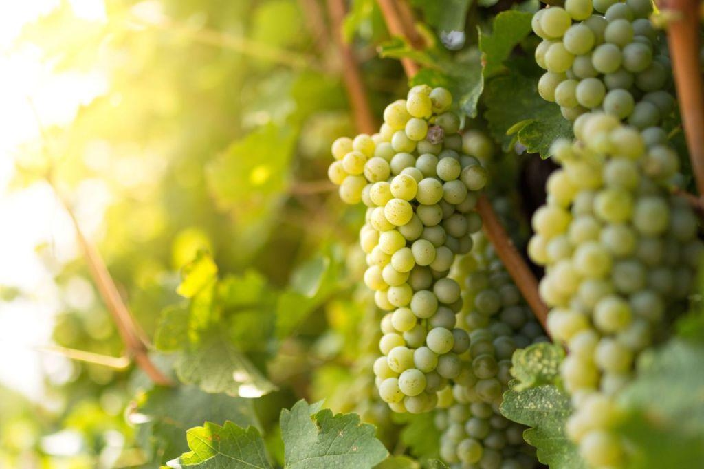 Sauvignon Blanc: Características Básicas Deste Vinho Branco