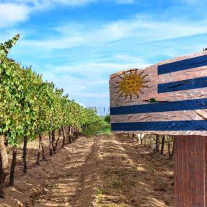 vinhos uruguaios