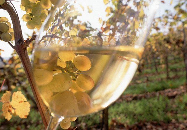 Uva Riesling, que dá origem ao Vinho Riesling.